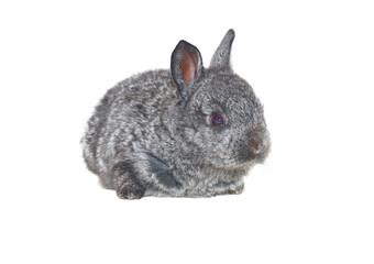small grey rabbit