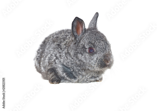 small grey rabbit