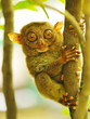 Fototapeten,tier,primate,klein,philippinen