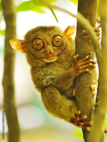 Fototapeten,tier,primate,klein,philippines