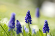 Group of tiny blue flowers (Muscari armeniacum)