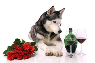 Hund Husky Rosen und Wein