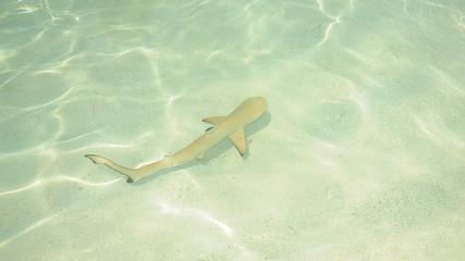piccolo squalo alle maldive