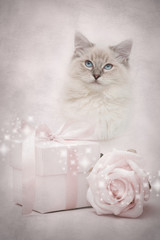 Pink ragdoll kitten and gift