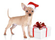Toy terrier puppy in christmas hat with gift