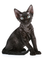 Black color Devon Rex cat sitting on a white background