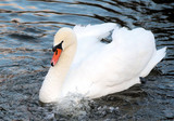 White Swan Floating On Blue Waters
