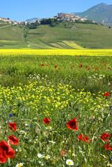Monti Sibillini: la Fioritura sul Pian Grande a Castelluccio 6