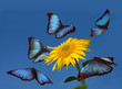 Blue butterflies dancing around a sunflower