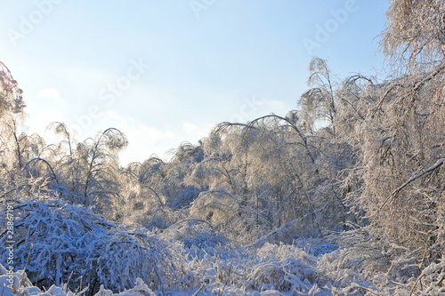 winter forest. frozen trees