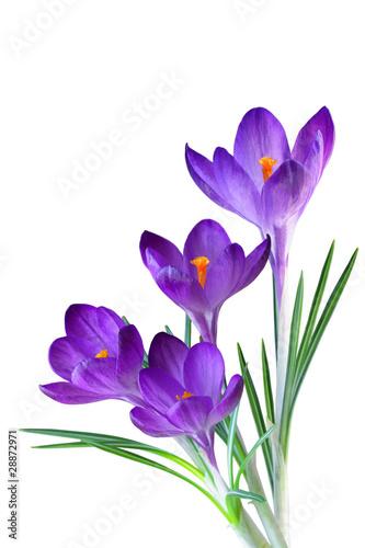Fotobehang Krokus Purple Crocus