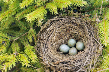 Detail of blackbird eggs in nest.