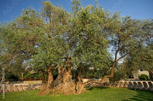 The Oldest Olive tree in the world