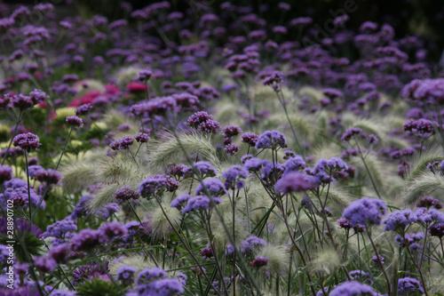 Fototapete lila blumenfeld - Blume - Blumenfeld • PIXERS.de