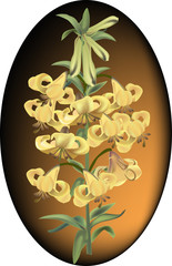 yellow lily flower illustration