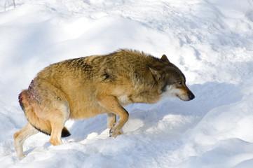 Omegawolf