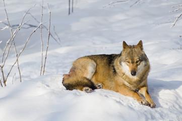 Wolf beim sonnen