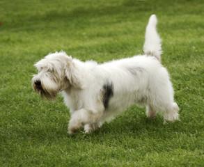 Basset trotting across grass