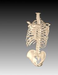 skeletal system human torso