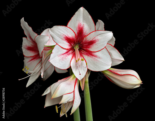 Variegated Amaryllis (Hippeastrum) isolated on black background