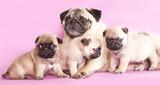 purebred pug puppy poster