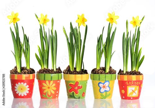 Fotobehang Narcis Daffodils in colorful pots.