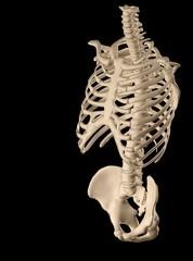 3d human torso structure