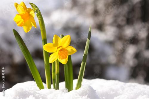 Canvas Narcis osterglocken im fruehling