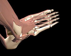 3d human foot anatomy