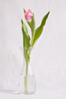 Tulip before white background