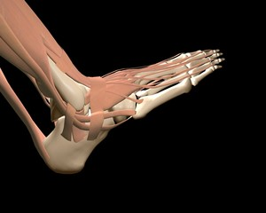 3d human foot anatomy