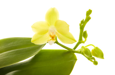yellow phalaenopsis orchid plant; isolated on white,