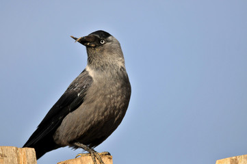 crow with curved beak