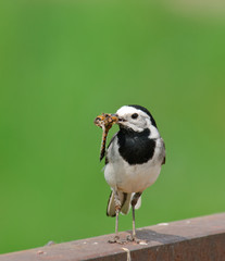 White Wagtail Motacilla alba with dragonfly as a prey