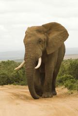 Large African bull elephant
