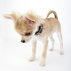 Chihuahua puppy with studded collar looking down