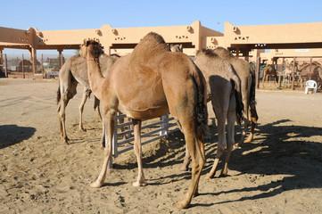 Kamelmarkt in Al Ain, Vereinigte Arabische Emirate