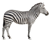 Fototapety Plain Burchell's Zebra female standing side view on white