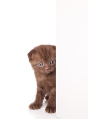 a funny scottish fold kitten is looking out of the wall