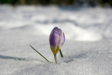 Crocus at the end of winter