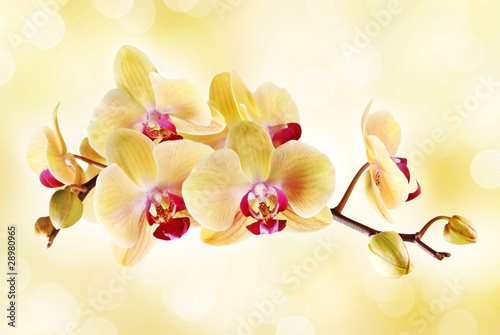 Foto op Aluminium Orchidee Yellow orchid on a light background