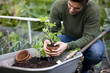 A young man planting potting strawberry plants on an allotment