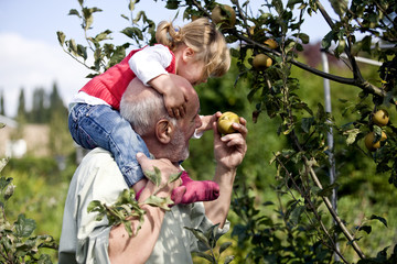A grandfather carrying his granddaughter, picking apples