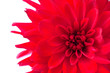 Macro view of red flower dahlia  isolated