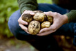 A man holding a handful of potatoes on an allotment