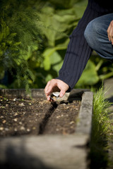 A male gardener sowing seeds on an allotment