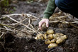 A man gathering potatoes from the soil on an allotment