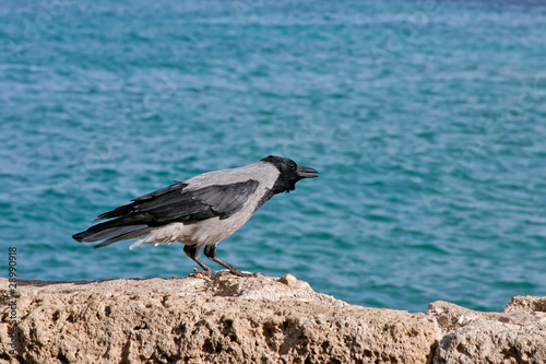 Crow at the seaside