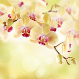 Fototapety Yellow orchid on a light background