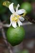 citron vert, fleur et fruit
